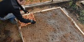 Посадка лука веска — как вырастить богатый «зеленый» урожай?