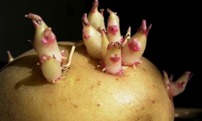Озеленение картофеля – для чего нужен этот процесс?