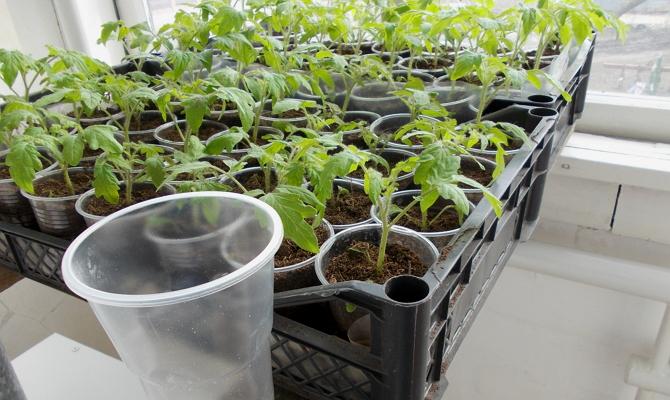 Почему растение может прекратить расти после пикировки?