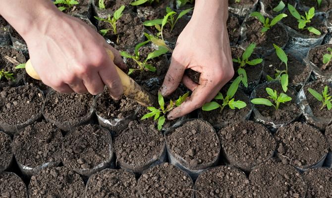 Когда лучше всего подкармливать рассаду?