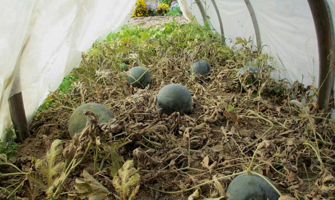 Подготовка теплицы к высадке бахчевых культур