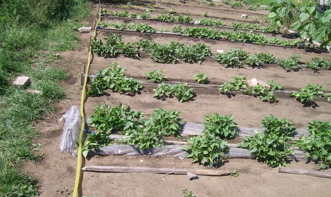 Рекомендации по выращиванию и удобрению картофеля