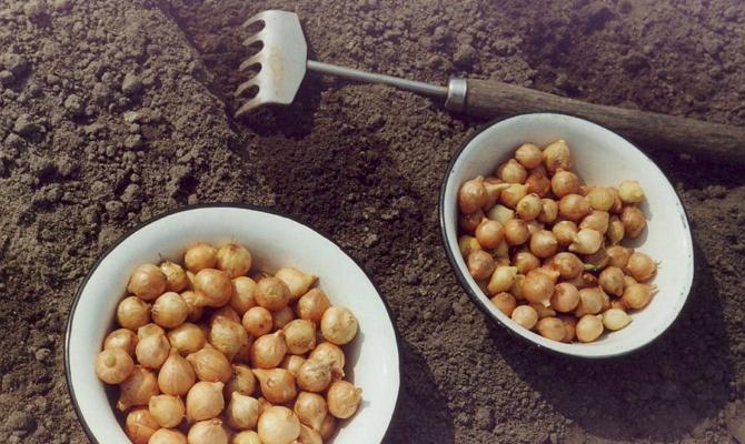 Подготовка почвы и посадка севка – последовательность действий