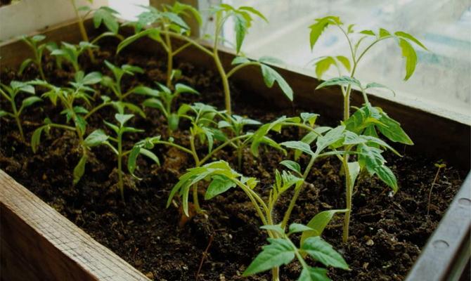 Болезни неинфекционной «природы» – чего не хватает вашей рассаде?