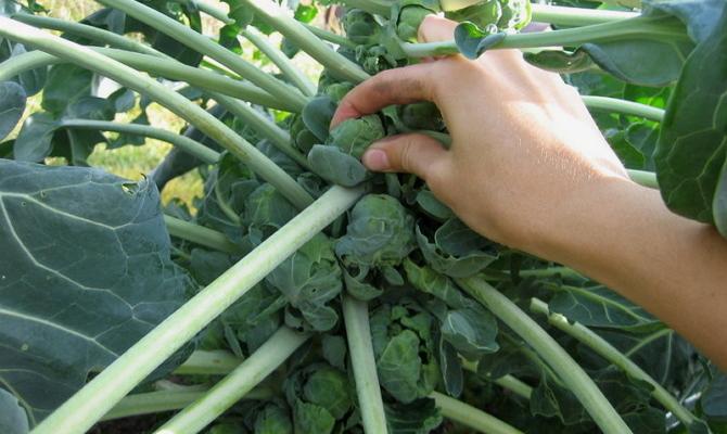 Сбор и хранение брюссельской капусты – тонкости и нюансы