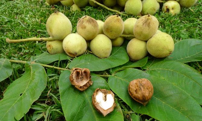 Размножение ореха – способы подготовки семян