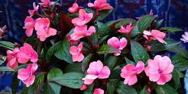 Болезни и вредители бальзамина – спасаем нежный цветок!