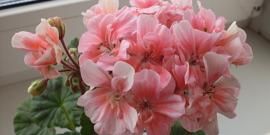 Болезни герани – используем простые способы борьбы с заболевания цветка