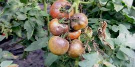 Болезни рассады помидоров – «скорую помощь» для молодых растений