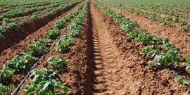 Капельный полив картофеля – как сделать хорошую систему самому?