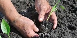 Подготавливаем рассаду перцев к посадке в открытый грунт