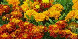 Посадка бархатцев на рассаду – выращиваем неприхотливые яркие цветы на участке