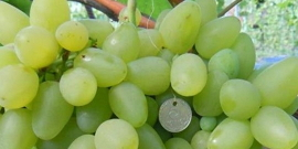 Виноград Бажена – чем может удивить такой гибрид?
