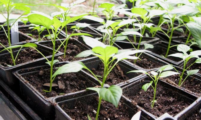 Уход за рассадой – полив и подкормка