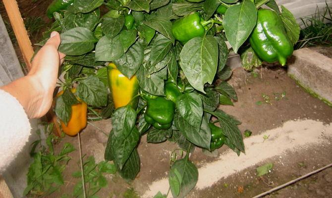 Рекомендации по уходу за выращиваемой рассадой