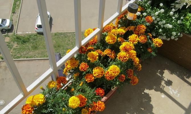 Когда и как посадить бархатцы на клумбу – несколько полезных советов