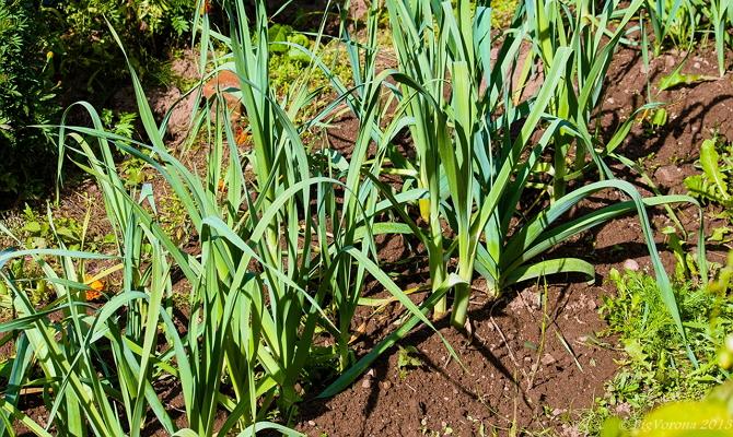 Правила ухода за луком – несколько важных рекомендаций