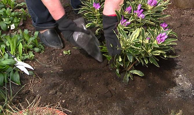 Тонкости посадки саженцев растения