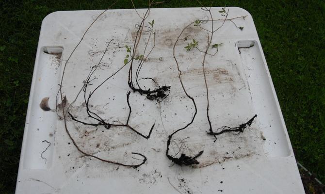 Правильный уход за родонедроном или как вырастить цветущий кустарник?