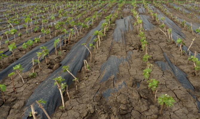 Уход за виноградом в первые годы, начальная формовка