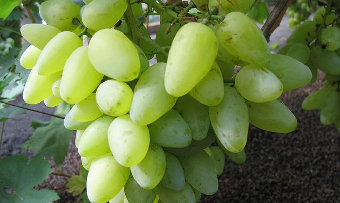 Чем виноград этого сорта похвастается перед дачником?