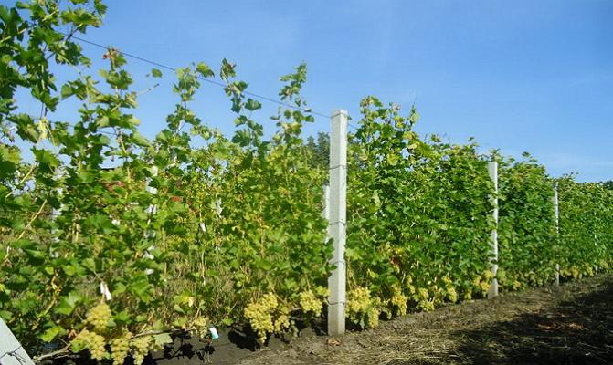 Бажена виноград