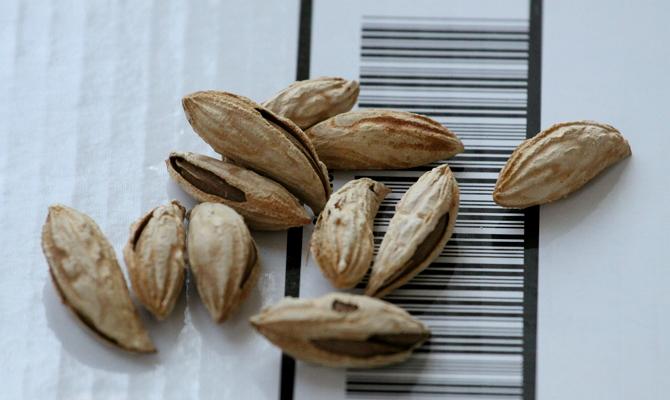 Как размножается орех – изучаем способы
