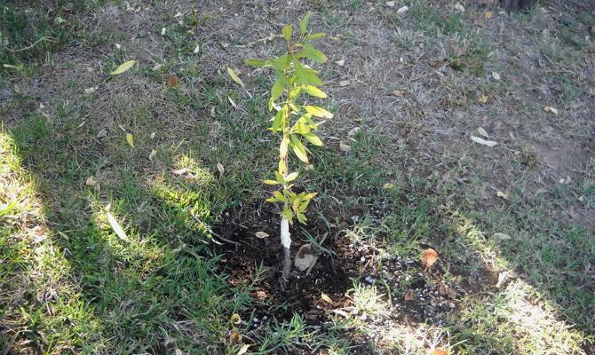 Мигдаль дерево посадка і догляд