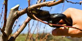 Обрезка абрикоса или как вернуть дереву цветущий вид и повысить урожайность