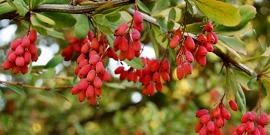 Как посадить барбарис осенью и уберечь от возможных болезней?