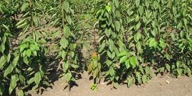 Посадка черешни осенью – как с одного дерева получать ведра черешен?