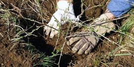 Высаживаем крыжовник осенью – как не дать кусту замерзнуть?