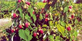 Посадка ремонтантной малины осенью – как не ждать спелых ягод два года?