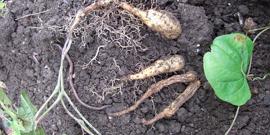 Посадка топинамбура осенью – полезные советы для начинающих