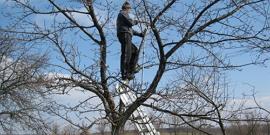 Правильная обрезка сливы осенью или как сделать фруктовое дерево здоровым и плодоносящим?