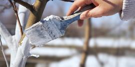 Уход за сливой осенью – как подготовить деревья к зимовке
