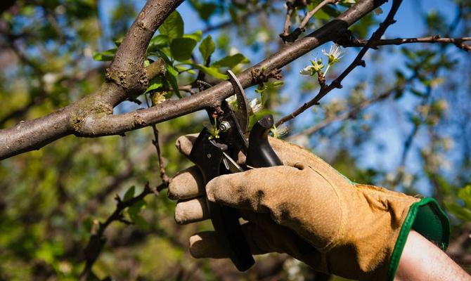 Изучаем схемы обрезки дерева в зависимости от его возраста