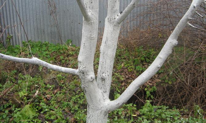 Как подготовить дерево к холодной зиме?