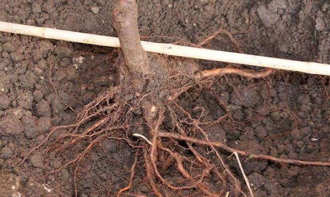 Высаживаем фруктовое дерево правильно