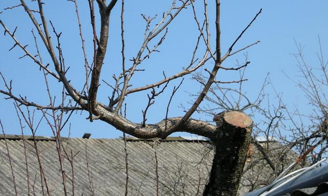 Обрезка ветвей после сбора урожая