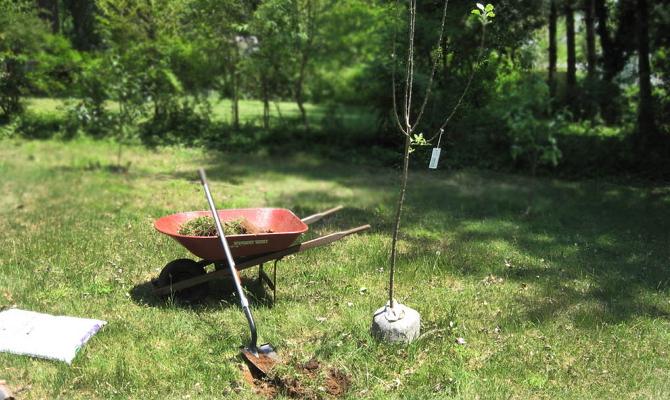 Подготовка и посадка саженцев яблони