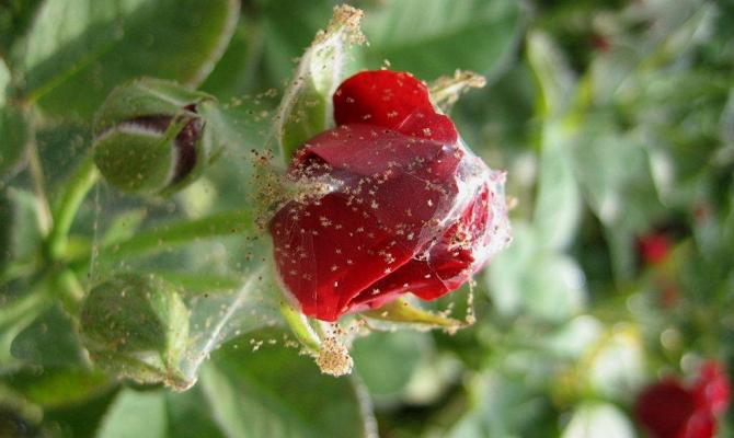 Паутинный клещ – главный вредитель для цветов