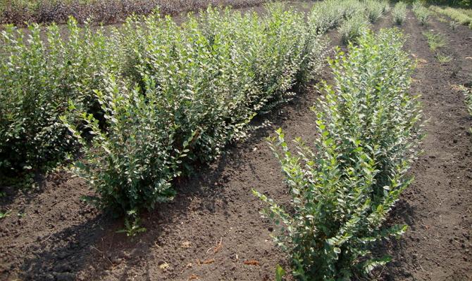 Правила и способы посадки – отводки, семена или привой?