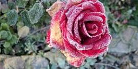 Болезни роз или как не дать погибнуть вашей садовой красавице?