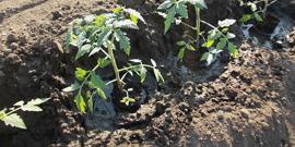 Высаживаем помидоры в открытый грунт – применяем самые эффективные советы на практике
