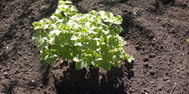 Все что нужно знать о сроках и особенностях посадки смородины осенью
