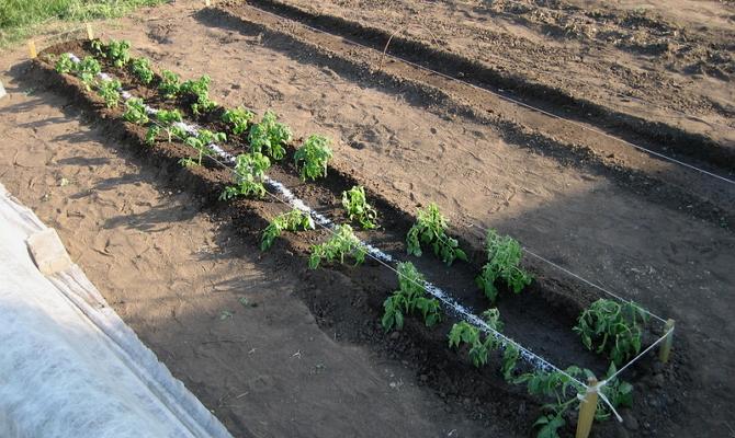 Посадка помидоров рассадным методом