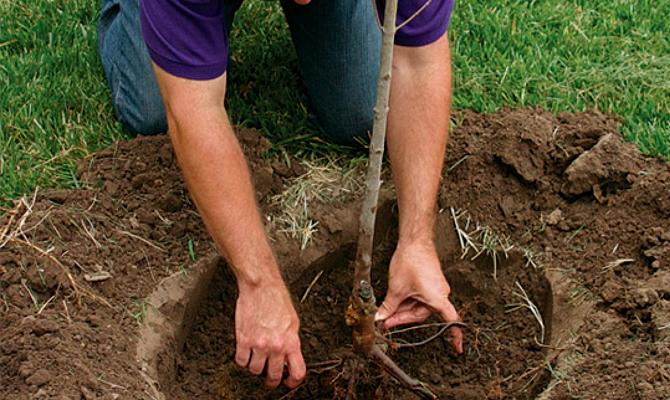 Сажаем яблоню – соблюдаем агротехнические правила