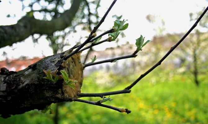 Зачем прививать плодовые деревья – 3 основные причины