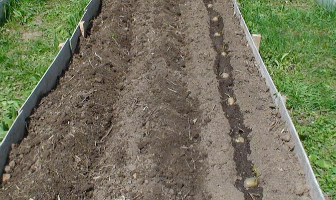 Обычные варианты для высадки картофеля – под лопату и в гребни